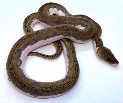 Picture of Pied Probable Citron Male